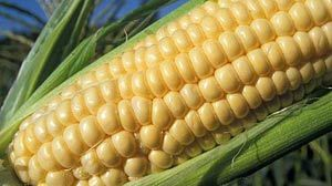 VEGGIES-sweet-corn300x200.jpg