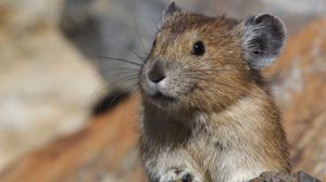 The Anerican Pika