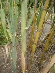 180px-Arundo_donax_3.jpg