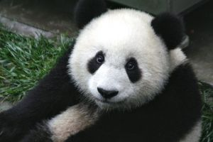 800px-Panda_Cub_from_Wolong,_Sichuan,_China.JPG