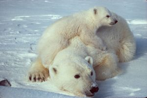 800px-Ursus_maritimus_Polar_bear_with_cub_2.jpg