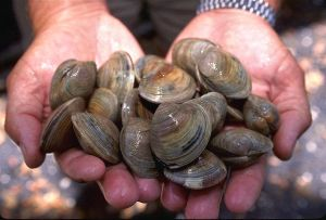 LittleNeck_clams_USDA96c1862.jpg