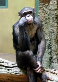 ThinkingChimpanzee.jpg