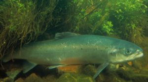 atlanticsalmon_williamhartley-usfws.jpg