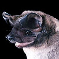 bonneted_bat.jpg