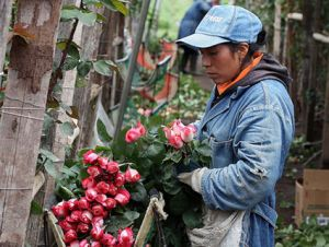 Ecuadorian rose farmer