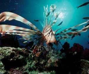 listen-lionfish-300x250.300wide.250high.jpg