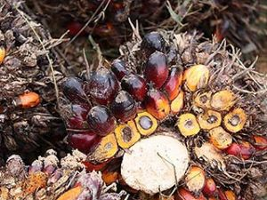 oil-palm-fruit.jpg