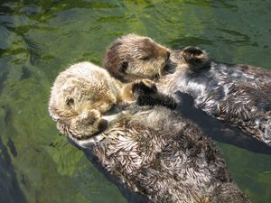 otters-holding-hands.jpg