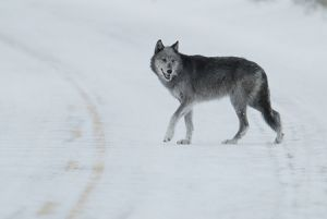 Wolf in Yellowstone