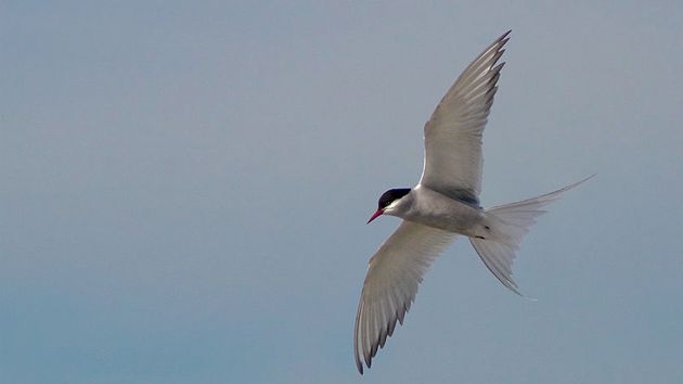 an artic tern flying