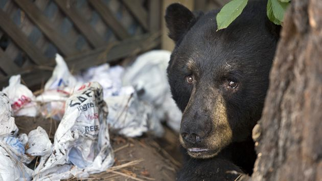 bear with trash