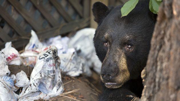 bear with trash