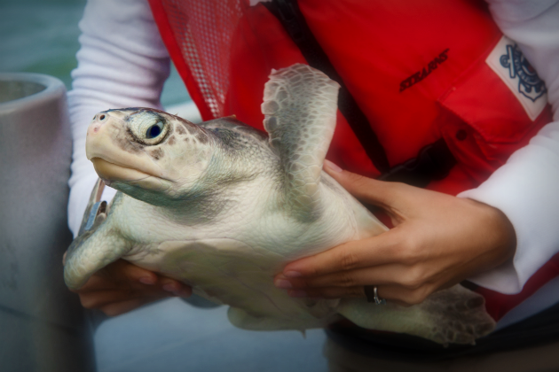 A Kemp's ridley turtle prepped for release into the Gulf of Mexico, October 2012