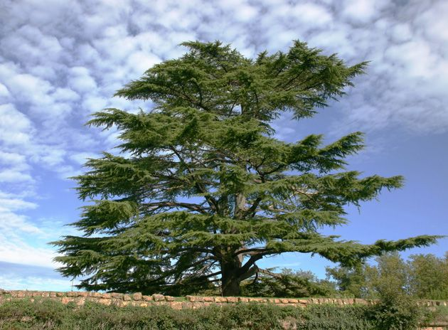 lebanese cedar