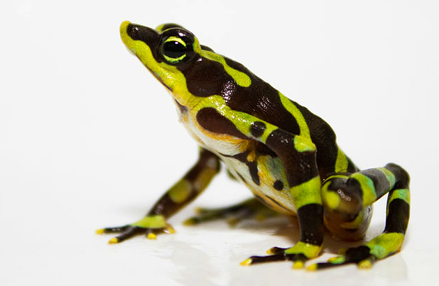 Limosa harlequin frog (Atelopus limosus)