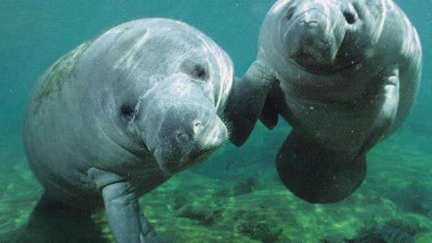 Two Florida manatees holding flippers: