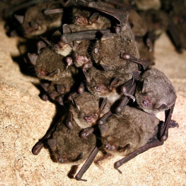 Cluster of hibernating gray bats (Myotis grisescens)